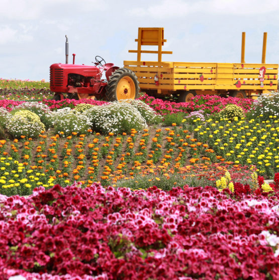 carlsbad ca flower fields